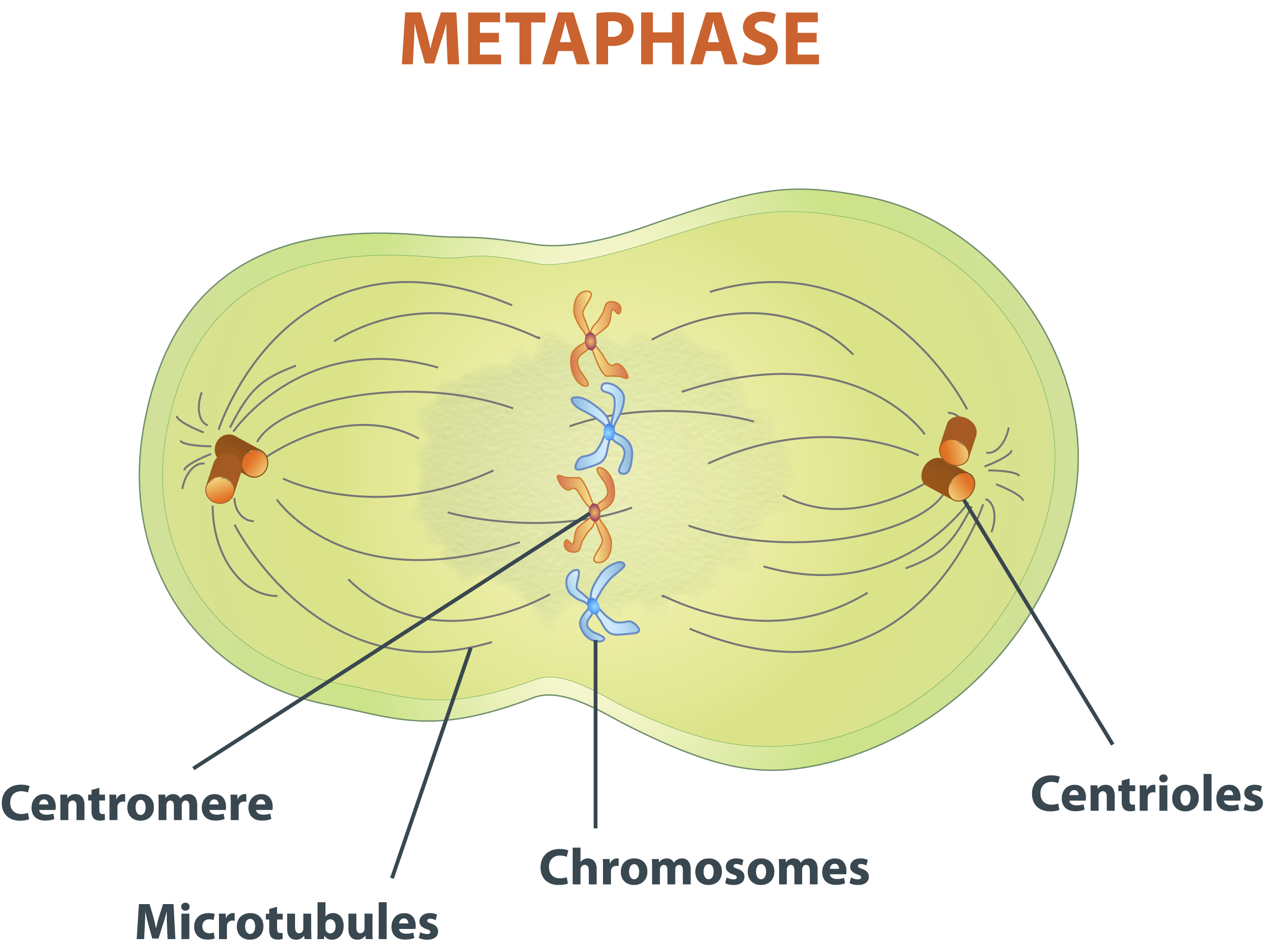 Image Gallery metaphase 1 diagram
