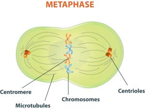 311047_Bio-05-10-Metaphase-Diagram.png