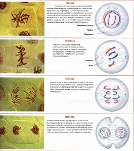 c7-fotos-mitosis